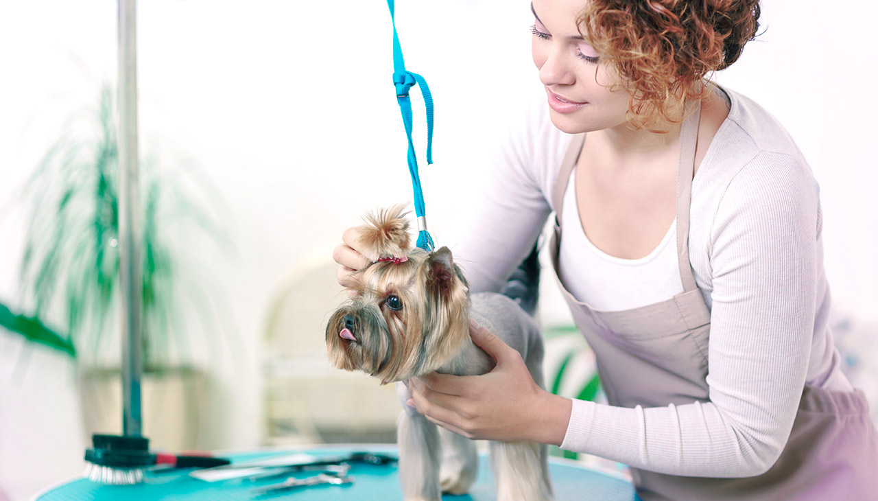 Pet grooming professional cutting dogs hair.