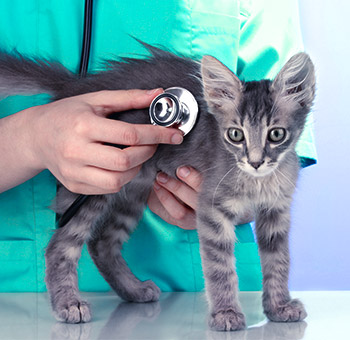 Vet testing small kitten's breathing with stethoscope at vetterinarian clinic.